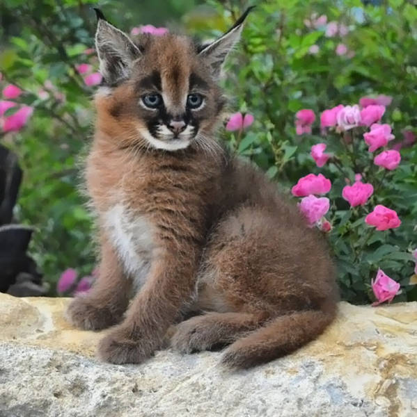 One Of The Cutest Cat Species Of All Time!
