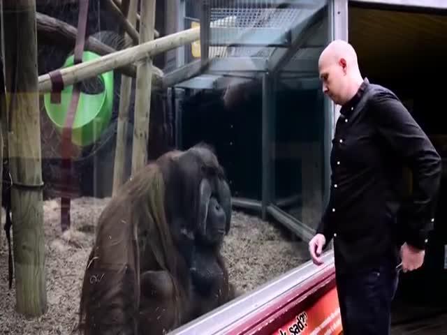 Orangutan Watches A Top Notch Magic Trick