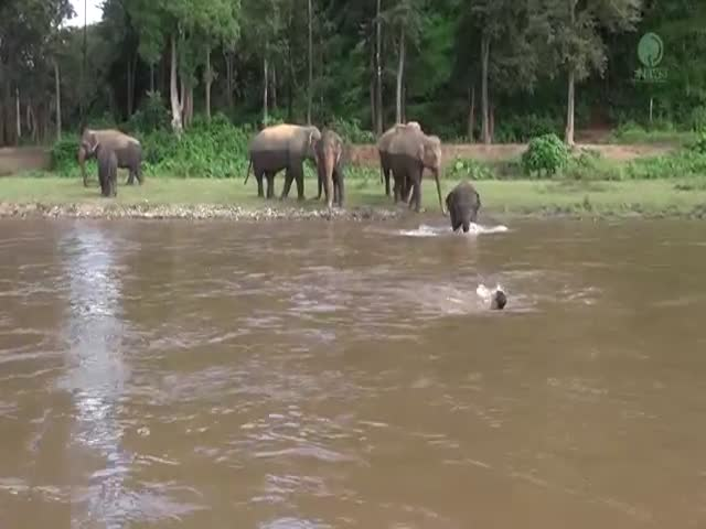 Elephant Rushes To Rescue A Man In The River