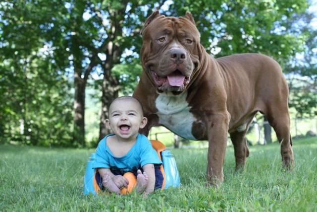 The Biggest Pitbull In The World Is Babysitting A Newborn