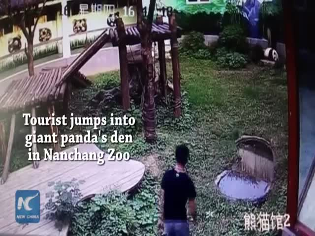 Tourist Jumps Into Giant Panda's Den And Wants To Touch The Bear
