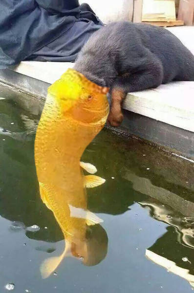A Photo Of Puppy Kissing A Koi Fish Has Started Funny Photoshop Battle
