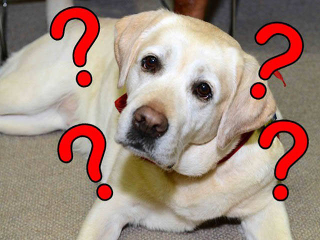 This Confused Labrador Is Either Too Damn Smart Or Too Damn Stupid But In Anyway His Story Is Hilarious