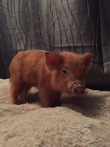 This Massive Pet Pig Is A Real Coach Potato That Likes Binge Watching TV Shows