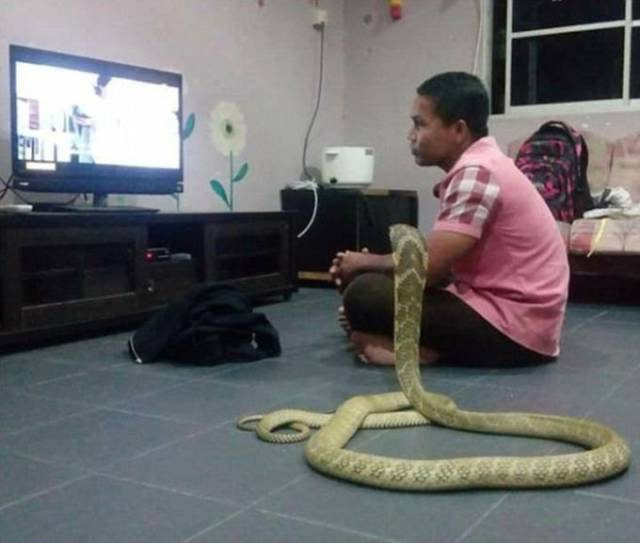 Guy Lives With A Cobra Thinking It Is His Late Girlfriend Reincarnated