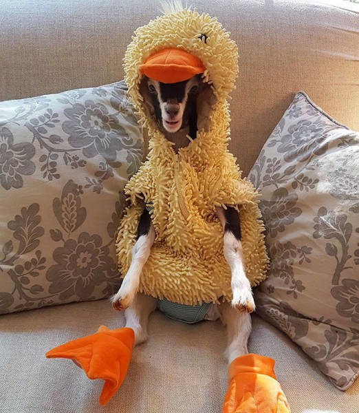There Is A Reason Why This Goat Likes Wearing A Duck Costume