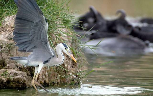 A Heron Fighting Against A Snake For Food