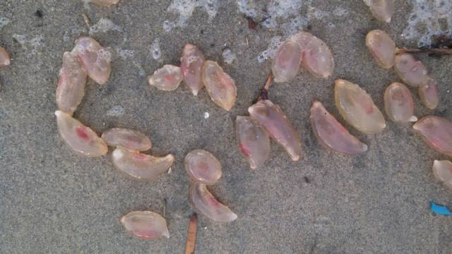 Unusual And Odd-Looking Thingies Washed Ashore In California
