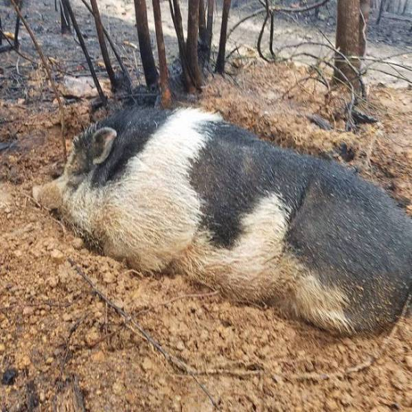 A Pig Miraculously Survives Wildfire That Destroyed His Family's House