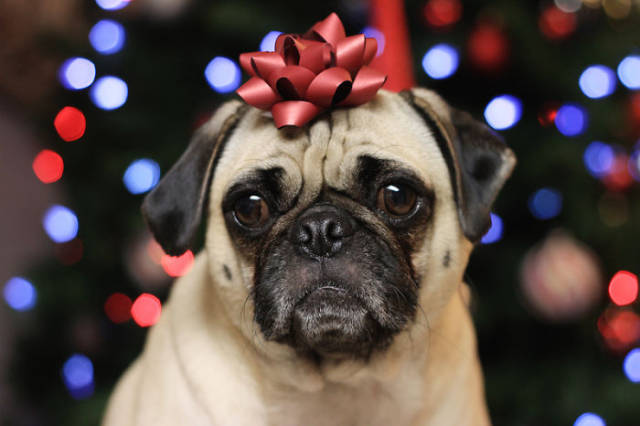 Not So Merry Christmas. Pets Are Not Excited About The Holidays