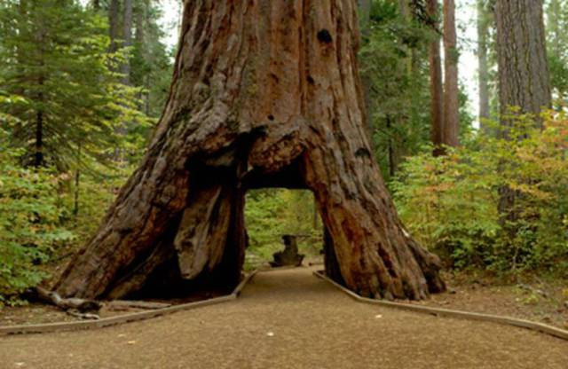 Even A 1000-Year-Old Californian Symbol Tree Couldn't Survive A Local Storm