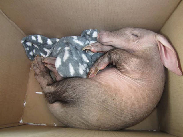 Namibian Truck Driver Saves A Baby Aardvark From Under His Truck And Finds Him A New Home
